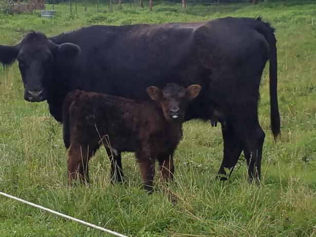 Highland Angus Heifer with heifer